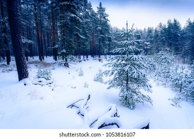 Pine forest on a snowy winter day. View from the hill. Russia, Europe. Beautiful nature. Christmas tree. Blue toning.