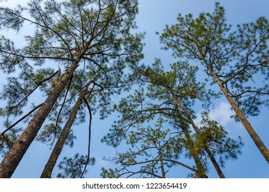 The pine forest at Phu Kradueng national park, Loei, Thailand.