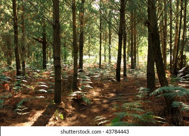 pine forest plantation with ferns