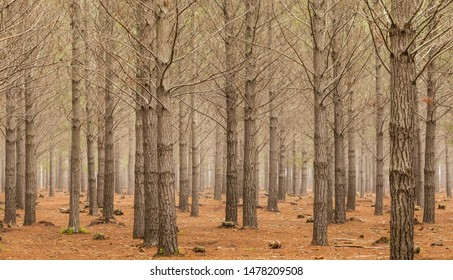 Pine Forest Plantation on a misty morning in Tokai Cape Town, South Africa