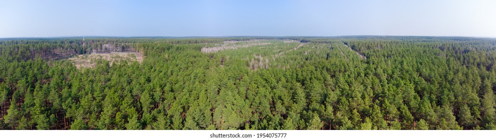 Pine forest with plantation of young pines and mixed coniferous and deciduous forest on the old cutting sites in early spring, aerial wide panoramic view