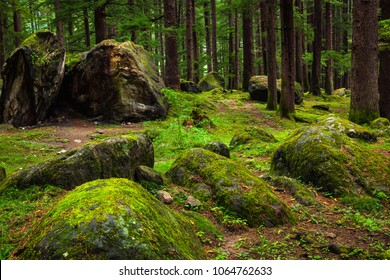 Pine forest with rocks. Manali, Himachal Pradesh, India