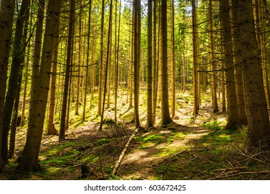 Pine forest scenery with sun and shade.