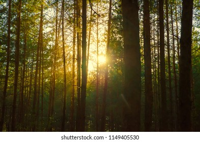 pine forest silhouette against the sun