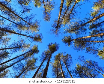 pine forest and sky