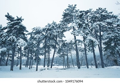 Pine forest with snow in winter landscape