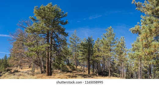 Pine forest in southern California hills near Mount Pinos in Los Padres National Forest.
