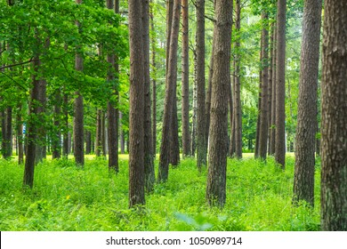 Pine Forest. Summer time.