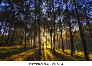 Pine Forest in sunset