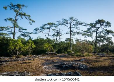 Pine forest taken near Nok Aan cliff at daytime, Phu Kradueng National Park, Loei Province