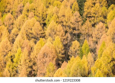 Pine Forest Texture. Fir trees forest background. Texture of coniferous forest (Larix sibirica).