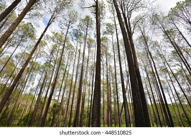 Pine forest in Thung Salaeng Luang National Park,Thailand
