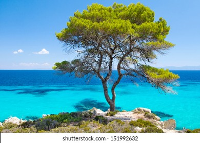 Pine forest tree by the sea in Halkidiki, Greece