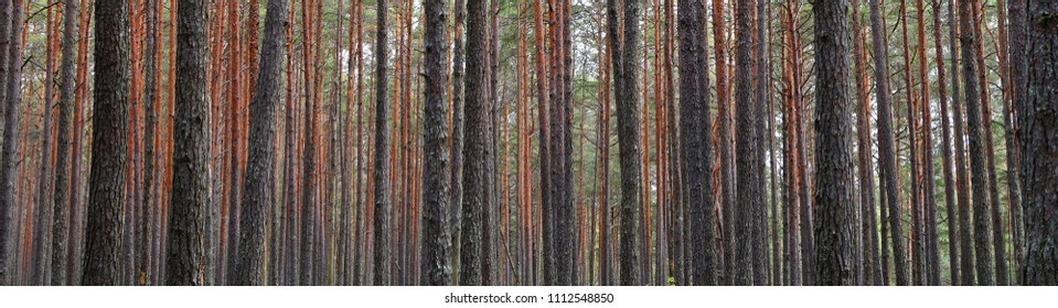 Pine forest tree trunks in summer day as beautiful natural textured background.