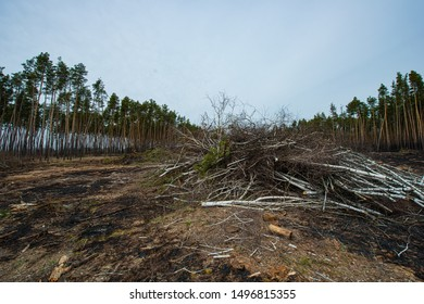 Pine forest and trees after the fire, panorama. Spring season. Web banner.