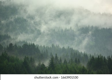 The pine forest in the valley in the foggy morning Fresh atmosphere of green.