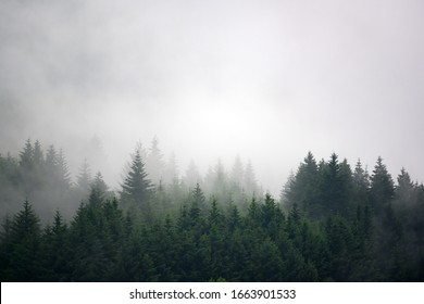 The pine forest in the valley in the morning is very foggy, the atmosphere looks scary. Dark tone and vintage image.