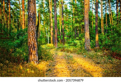 In the pine forest view. Pinewood trail. Pine forest path. In pine forest