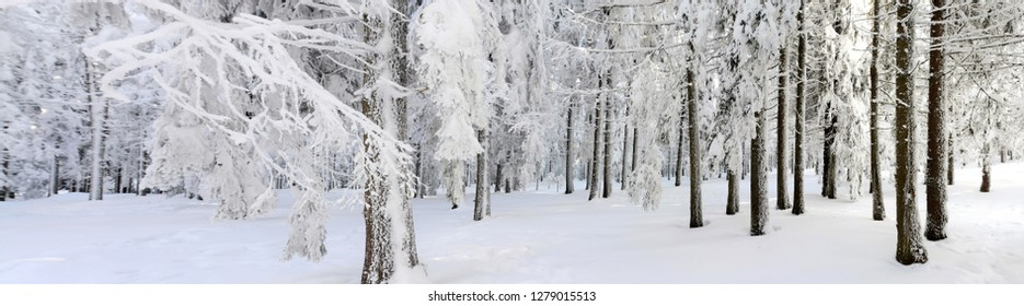 in a pine forest in winter