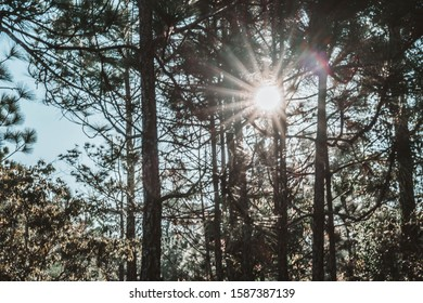 The pine forest in winter