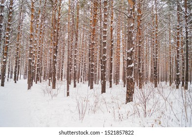 pine forest, in winter weather, tree trunks