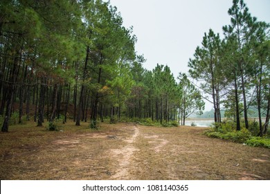 Pine forests at Ban Wat Chan Royal Project Development Center ,Chiang Mai
