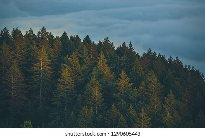 Pine forests in the morning