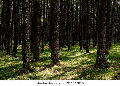 Pine forest,Shadow tree