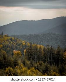 Pine forrest in autumn