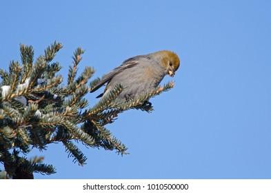 A pine grosbeak feeding on spruce buds during winter.