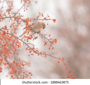A Pine Grosbeak looks down while perched in crabapple tree