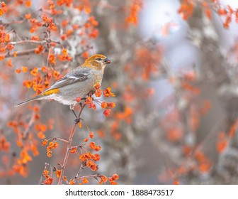 A Pine Grosbeak perched in tree and it have a bit of berries in its beak