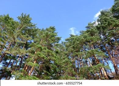 Pine grove and blue sky