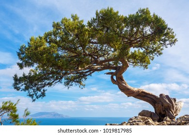 Pine growing on a cliff above a precipice on a sunny  day. Crimean juniper on the edge of the cliff overlooking the sea and the beautiful sky