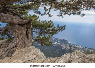 Pine grows in the rock on the cliff