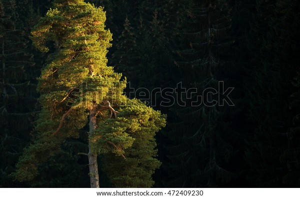 Pine in the last rays of light. Lone pine on the end of the day. Pine tree.