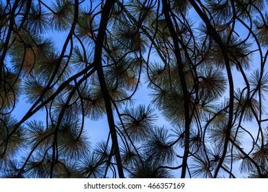 pine leaf background