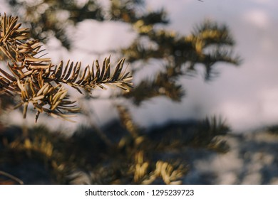 Pine leaves with blur background