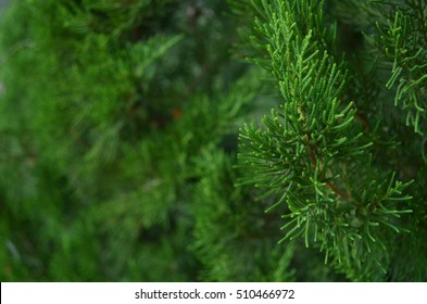 Pine Leaves like a Dragon Scales