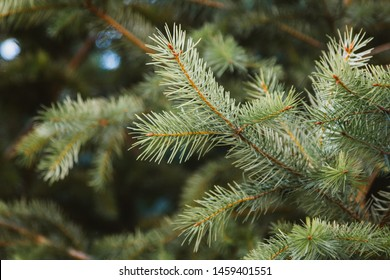Pine leaves on the branch
