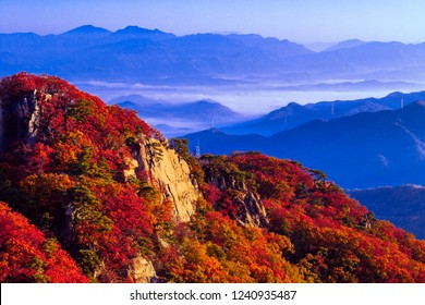 Pine Maple trees in PAJU SOUTH KOREA OCTOBER 20-2018 During the fall season There are many people. Come see the sea fog And Morning sun Get warm in the morning. This mountain has a wooden walkway.