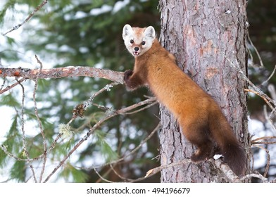 Pine marten climbing up a tree in Algonquin Park, Canada in winter