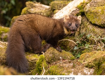 Pine Marten hunting in the woods