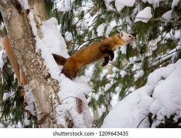 A Pine Marten jumps from a branch to another in the snow in Ontario, Canada