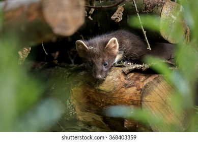 A pine marten in a log pile studies me curiously while being photographed.