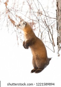 Pine Marten (Martes americana) isolated on white background standing in the winter snow in Algonquin Park, Canada