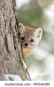 Pine marten (Martes americana) peeks out from behind a tree in Algonquin Park, Canada