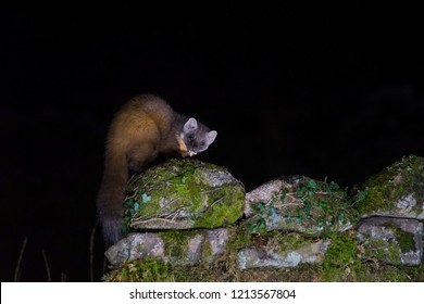 Pine marten, Martes martes, feeding on a stone wall at night, dumfries, october