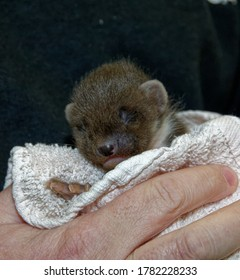 Pine Marten (Martes martes) Kit in care at wildlife rescue centre being held.