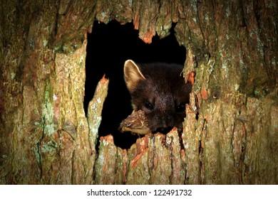 Pine Marten (Martes martes) peeking through hole in a tree. Taken in the Highlands, Scotland.